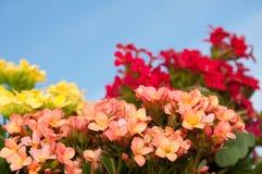 Briljante bloei van het Vlammen Katy Royalty-vrije Stock Afbeeldingen