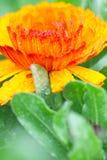 Briljante oranje en gele bloemen stock afbeeldingen