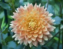 Briljante Oranje en Witte Dahlia Flower Royalty-vrije Stock Foto's