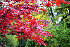 Briljante rode boom van de herfst stock afbeelding