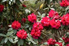 Briljante Rode Rododendrons Stock Foto's