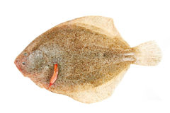 Brill flatfish. Isolated on a white background Stock Photos