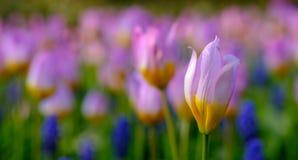 A brillamment coloré la tulipe aux jardins de Keukenhof, Lisse, la Hollande-Méridionale photographie stock