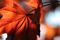 brillant brązowy klonów liściach Obraz Royalty Free