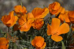 Brillant bright california poppies. Bright blooming california poppies, a plant bursting with flowers in bright sunshine Stock Photography
