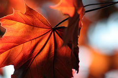 Brillant Bronze Maple Leaf. A backlit Red Maple leaf shot from a beneath Royalty Free Stock Image