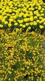 Brillant koloru żółtego kwiaty Zdjęcie Stock