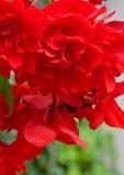 Brillant rote hängende Begonia Flower Lizenzfreies Stockfoto