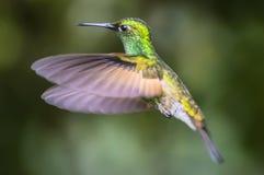brillant Vert-couronné Curi Cancha, Costa Rica photographie stock libre de droits