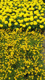 Brillant yellow flowers. Brilliant yellow flowers, daisy and marigold, at flower market Stock Photo