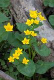 Marsh Marigold Rise Up from the Swamp. The brillant yellow flowers and emerald green petals of a marsh marigold dazzle the wet murky forest floor of McClaughry stock photos