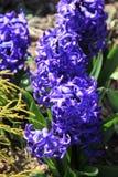 Brillantblaufarbe der wohlriechenden Hyazinthe im Garten stockbild