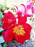 shiny red carnation royalty free stock photos