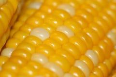 Brillante, fresco, maíz en la mazorca Fotos de archivo
