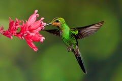 Brillante incoronato verde Fotografie Stock Libere da Diritti