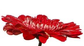 Brillantemente color scarlatto della gerbera su un fondo bianco fotografia stock libera da diritti