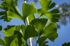 Brillantemente foglie scolpite verde del primo piano del ginkgo biloba nel fuoco molle contro un fondo di fogliame confuso La luc immagine stock
