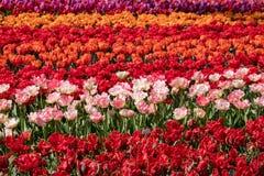 Brillantemente ha colorato rosso, rosa e tulipani arancio ai giardini di Keukenhof, Lisse, Paesi Bassi Keukenhof ? conosciuto com fotografia stock libera da diritti
