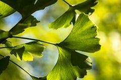 Brillantemente hojas talladas verde del primer del biloba del Ginkgo en foco suave contra un fondo del follaje borroso imágenes de archivo libres de regalías