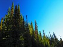 Brillantemente pino Forest Against Blue Sky di Lit Fotografie Stock Libere da Diritti