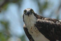 Brillare del Osprey Fotografie Stock