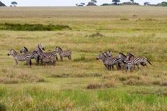 Brillez des zèbres en parc national de Serengeti image stock