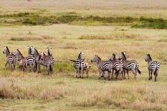 Brillez des zèbres en parc national de Serengeti images stock