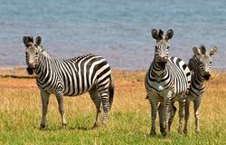 Brillez des zèbres (quagga d'Equus) se tenant regardants directement l'appareil-photo photo stock