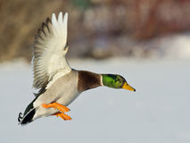 Landing Mallard Duck. Brillian Mallard drake getting ready to land Stock Images