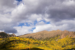Brilliant Aspens in Pike National Forest near Pike's Peak in Col Royalty Free Stock Images