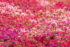 Brilliant azalea flower field Stock Photography