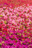 Brilliant azalea flower field Stock Photo