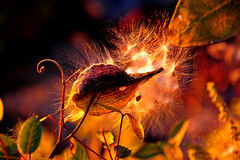 Brilliant Backlit Milkweed Pod Royalty Free Stock Photo