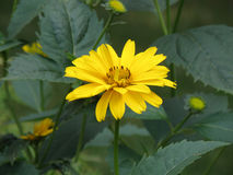 Brilliant Blooming Yellow Flowering Heliopsis Flower Stock Photos