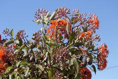 Brilliant Blossoms of Eucalyptus ficifolia  West Australian scarlet flowering gum tree in early summer. Brilliant Blossoms of Eucalyptus ficifolia  West Royalty Free Stock Photos