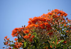 Brilliant Blossoms of Eucalyptus ficifolia West Australian scarlet flowering gum tree in early summer. Brilliant Blossoms of Eucalyptus ficifolia West royalty free stock image