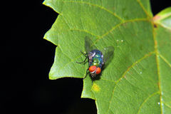 Brilliant Blue Bottle Fly Stock Photo