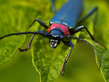 The Brilliant blue bug on green background Stock Images