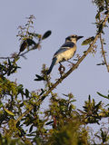 Brilliant Blue Jay Royalty Free Stock Photography