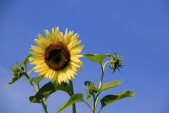 Brilliant blue skies as backdrop for bright yellow sunflowers Royalty Free Stock Images