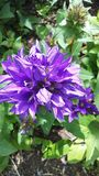Brilliant bluish purple flower. Brilliant violet blue flower against foliage with morning sun Stock Photography