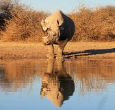 Brilliant brut - Black Rhino, endangered african. The very rare endangered African Black Rhino looking at its own reflection on the water.  Namibia, Africa Royalty Free Stock Photography