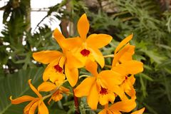 Brilliant Cattleya Orchids. This Cattleya orchid, has brilliant yellow and gold tones, and deep red center. Family; Orchidaceae Royalty Free Stock Image