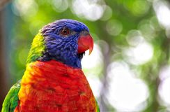 Brilliant colored Lorikeet headshot stock photo