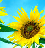 Brilliant colorful sunflower Stock Images