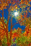 Brilliant Colors From Aspens, an Azure Sky and the Sun. Gold and orange aspens adorn silvery bark trees beneath a deep azure sky stock photo