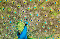 Brilliant colors of a peacock Stock Photo