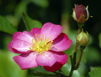 Brilliant Coloured Old-Fashion Rose with Buds. Closeup of a bright coloured pink old-fashioned rose with bright yellow stamen and two flower buds isolated Stock Image