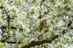 Brilliant crab apple tree in full bloom. Macro closeup of crab apple tree in full bloom in springtime royalty free stock image