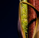 Brilliant Dark Red Metallic Colored Leaves of Yucca Stalk Royalty Free Stock Photo